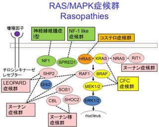 症候群 コステロ 日本の患者さんとご家族へ|The RAS/MAPK